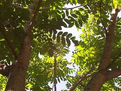 Walnut tree in Falun (Perdavid Nygren) Tags: sweden walnut dalarna falun walnuttree valnt juglansregia valntstrd lroverksparken