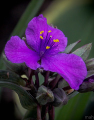 Spiderwort (mahar15) Tags: flower closeup garden purple spiderwort perennial tradescantia singleflower
