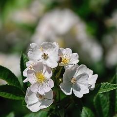 Wildflowers II (brev99) Tags: white blur green yellow bokeh wildflowers tamron28300xrdiif heisteinpark