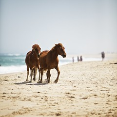 Playing on the Beach (herb.g) Tags: ocean travel wild horses beach water island eos movement md sand waves afternoon maryland overcast sunny national ponies seashore assateague ef70200mmf28lis canon5dmarkii aperture3