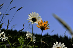 (PPoznik) Tags: blue sky sun flower yellow nikon europe skies sunny clear daisy slovensko slovakia povazie d7000 povazskabystrica projectweather brvniste