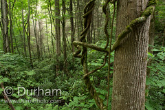 Tennessee Forest (Michael Durham) Tags: trees woods tennessee vine cherokeenationalforest greenforest rhododendrans