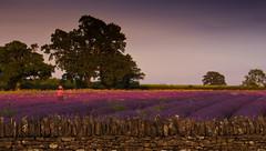 Lady Lavender (Photo Gal 2009) Tags: lavender ladylavender lavenderfield lavenderengland englishlavender lavenderuk britishlavender somersetlavender faulkand faulklanduk purplelilacpink purple lilac pink stonewall oldstonewall tree lady englishcountry englishcountryside countryside countrysideuk summer2013