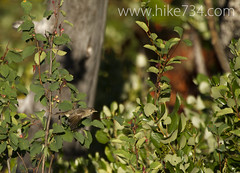 """Warbling Vireo • <a style=""""font-size:0.8em;"""" href=""""http://www.flickr.com/photos/63501323@N07/9459275342/"""" target=""""_blank"""">View on Flickr</a>"""