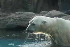 Polar Bear at Yokohama Zoorasia 2013-08-17 (kuromimi64) Tags: japan zoo polarbear yokohama kanagawa    zoorasia    yokohamazoologicalgardens