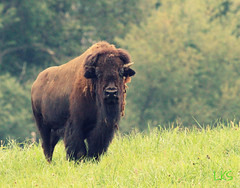 T3 (vmax4coco) Tags: nature animal cow buffalo wildlife bison