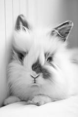 Dofri (astakatrin) Tags: bw pet white black cute rabbit love animal fluffy angora lionhead