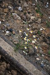 Se faire un rail (Aurlien et Lyra en Guyane) Tags: flower fleur earth rails terre marguerite
