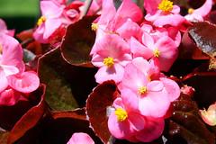 Begonias...
