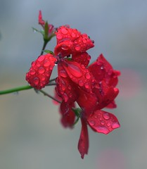 Bejewelled (charlottz - CG Photography) Tags: red flower wet water beauty rain weather closeup grey droplets petals stem nikon bad vivid bloom ruby jewels geranium bejewelled d5100