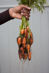 Bunch of Carrots (ZoeMageePhotography) Tags: light food orange vegetables leaves garden leaf raw farm roots ground fresh dirt carrots foodphotography