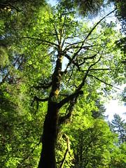 Silver Falls State Park - Oregon (Dougtone) Tags: tree oregon waterfall moss falls gorge silverfalls silverfallsstatepark
