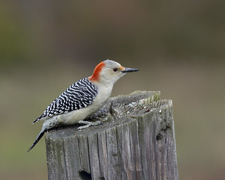 Red-bellied Woodpecker (female) - Melanerpes carolinus