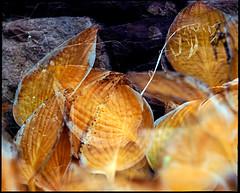 double exposure (manni39) Tags: autumn mamiya film rural vintage mediumformat garden countryside fuji superia doubleexposure herbst vintagecamera 6x7 garten rollfilm fujisuperiaxtra400 rb67 lndlich sekor mittelformat moyenformat mamiyasekor doppelbelichtung mamiyasekor127mm38