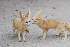 Fennec fox (floridapfe) Tags: animal zoo nikon kiss korea fox fennec everland fennecfox