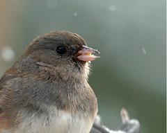 Dark-eyed Junco-25u (Junco hyemalis) (egdc211) Tags: bird aves darkeyedjunco juncohyemalis birdwatcher cornelllabofornithology backyardbirding