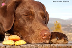 Cookies! (KB RRR) Tags: dogs nature colorado rockymountains frontrange labradors chocolatelabrador shyla
