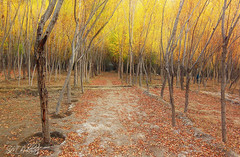 A Path (SMBukhari) Tags: autumn trees pakistan fall yellow way leaf path autumnal skardu baltistan ganche syedmehdibukhari smbukhari