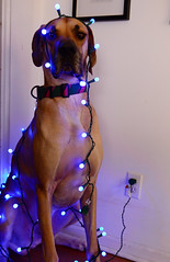 Requisite dog wrapped in Christmas Lights photo (moke076) Tags: christmas blue portrait dog pet face up animal lights sitting serious chanukah great down twinkle moose fawn dane lit plugged annoyed hanukkah unimpressed unamused d7000