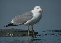 Yellow-legged Gull (Katie Fuller @bogbumper) Tags: france camargue digiscoped laruscachinnans yellowleggedgull