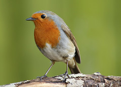 red red (explored) (Dawn Porter) Tags: bird robin somerset