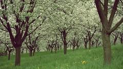 217 (Richard Hodonicky) Tags: prague praha blooming petn