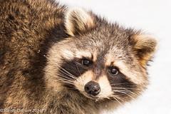 Young Raccoon (rdroniuk) Tags: animals wildlife raccoon animaux mammals procyonlotor faune ratonlaveur mammifres