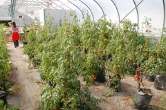 """Growing in Greenhouse <a style=""""margin-left:10px; font-size:0.8em;"""" href=""""http://www.flickr.com/photos/91915217@N00/12450209563/"""" target=""""_blank"""">@flickr</a>"""