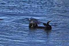 Morro Bay Sea Otters (4) (Bob Palin) Tags: california blue sea 15fav usa water animal otter morrobay seaotter 100vistas instantfave canonef70300mmf456isusm canoneos60d orig:file=2013122614998