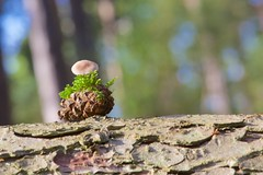 Pine Cone (Bambi 101) Tags: trees green mushroom sunshine happy moss warm dof norfolk fungi bark pinecone shallowdepthoffield dersingham wolferton dersinghambog