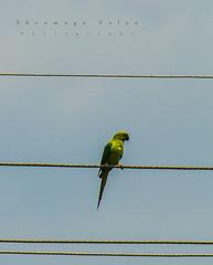 Life on Verge !! (Shanmuga Velan) Tags: life india birds temple nikon ngc parrot tamilnadu kanchipuram nikond3200 tamron70300mm uthiramerur shanmugavelan