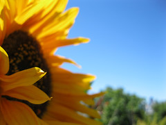 Sunflower_4667680081_l