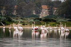 Parco naturale lo spettacolo del volo (Antonio Crisponi) Tags: sardegna pink hotel mare natural rosa flamingos event solo non birdwatching cagliari klima fenicotteri