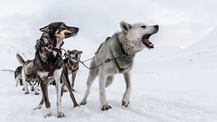 Artic dog power (Tommy Høyland) Tags: winter wild dog pet white snow black mountains cold ice dogs nature beautiful animal sport tongue race speed work mouth fur mammal outdoors nose team friend husky power carriage action head fast canine run adventure malamute sledding recreation polar siberian harness musher sled sleigh active barking sledge teamwork dogsled