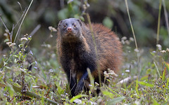 "Stripe-necked-Mongoose_Pandimotta_12-February-2014 • <a style=""font-size:0.8em;"" href=""http://www.flickr.com/photos/109145777@N03/13910100701/"" target=""_blank"">View on Flickr</a>"
