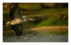 Flight of Pelican (cknara) Tags: india birds fly wings chennai vedanthangal