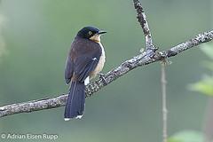 Black-capped Donacobius, japacanim (eisenrupp) Tags: minas gerais birding aves da brazilian cerrado serra canastra merganser patomergulhão