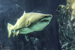 Plongée avec le requin-taureau