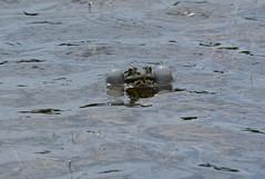 Calling Marsh Frog, Pelophylax ridibundus (willjatkins) Tags: frog frogs marsh amphibians nonnative marshfrog ukwildlife alienspecies frogsandtoads pelophylax pelophylaxridibundus essexwildlife nonnatives londonfrogs britishreptilesandamphibians britishfrogs ukamphibiansandreptiles ukreptilesandamphibians britishamphibiansandreptiles ukfrogs ukherps ukherpetofauna britishwidllife ukfrogsandtoads londonwidllife essexfrogs britishherps