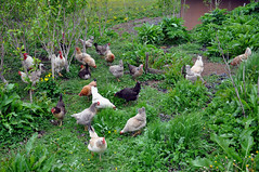 chickens at Nordur-Vík Youth Hostel (Anosmia) Tags: chickens iceland hostel vik ísland vík víkímýrdal icelandicchickens kjúklingur íslenskahænan haughænsni landnámshænan nordurvíkyouthhostel