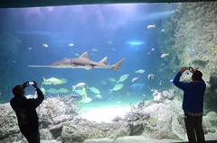 Freshwater Sawfish, Pristis microdon - Sydney Aquarium - theatre (avlxyz) Tags: aquarium sydney australia sydneyaquarium fb5