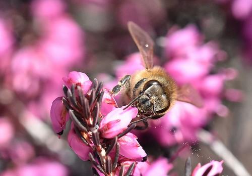 polline disperso