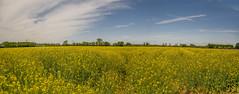 yellow-blue panorama (stevefge) Tags: maasenwaal nederland netherlands landscape panorama nl nature natuur nederlandvandaag reflectyourworld