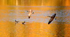 AUTUMN REFLECTIONS ON MILL LAKE,  ABBOTSFORD,  BC. (vermillion$baby) Tags: canadageese milllake abbotsford autumn bird color fall flight geese gold orange reflection vivid yellow goose wild closeup birdf sunset sunrise canadagoose lake fraservalley bc colora mill reflectionf water sun beautifulbc leaves trees bv forest