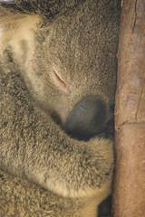 Koalas XXXIII (Josué Godoy) Tags: koala koalas australia animal exotic cute mignon exótico