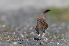 Ein guter Jäger... (bertheeb) Tags: hermelin wildtiere nikon d750 ngc