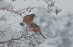 April Fool's Day in Maine! 004 (smilla4) Tags: tree snow berries birds robins aprilfoolsday maine