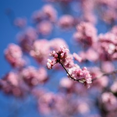 signs of spring (ΞSSΞ®®Ξ) Tags: ξssξ®®ξ pentax k5 angle 2017 squareformat smcpentaxm50mmf17 outdoor plant sky city roma blooming flowers sunday pincio villaborghese pov italy lazio prunusserrulata pink cherryblossom blossom flower tree branches bokeh colors light