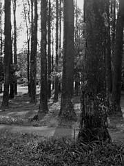 21 (amandac_cardoso) Tags: landscape trees blackandwhite grevillea grevilea