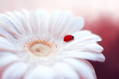 Gerbera 🐞😊 (ElenAndreeva) Tags: red spring color blue sun light summer bokeh beautiful closeup cute colors insect canon garden top soft dream composition sweet focus bug best amazing nature photograph macro flower gerbera ledybug white lovely ladybug lighting lights today tones purple pretty petal popular pics macrophotography